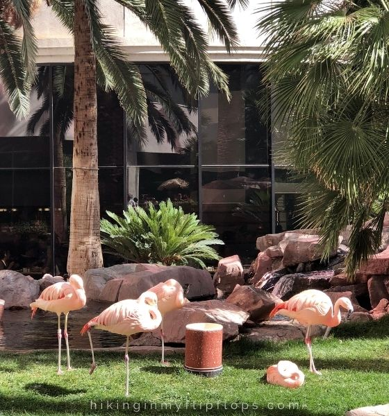 Chilean Flamingos on the 15-acre Wildlife Habitat at the Flamingo Hotel and Casino, a fun idea for what to do in Las Vegas with kids
