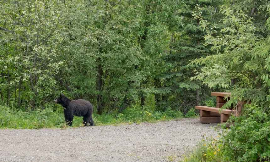 a bear walking through a campsite can easily be deterred with simple tips on how to keep bears away from your campsite